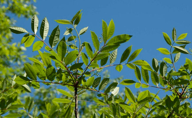 What Does Poison Sumac Look Like