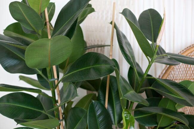 rubber plant care