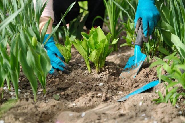 how to divide hostas - planting divided hostas in garden