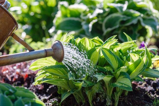 how to split hostas - watering hostas