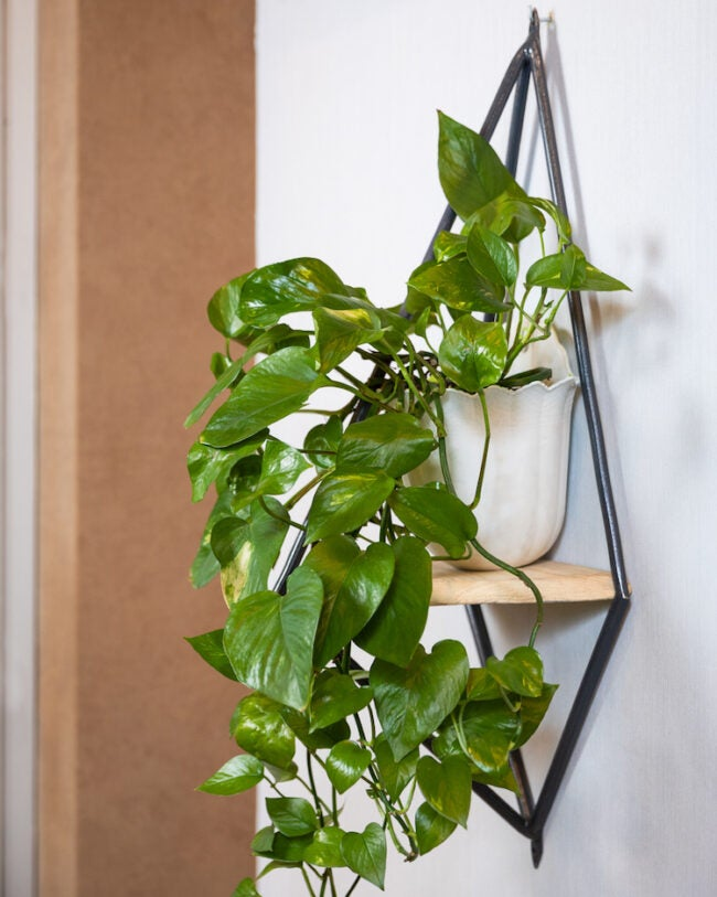 pothos plant care how to care for pothos plants