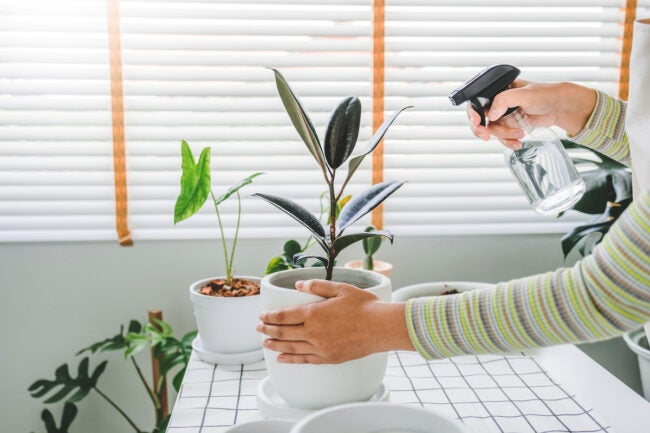 how to care for rubber plant