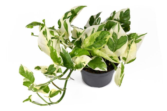 how to care for pothos plants