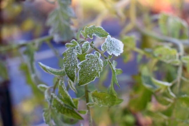 Macro of tomato plant leaves with frost