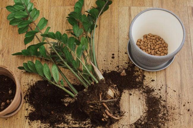 zz plant care repotting