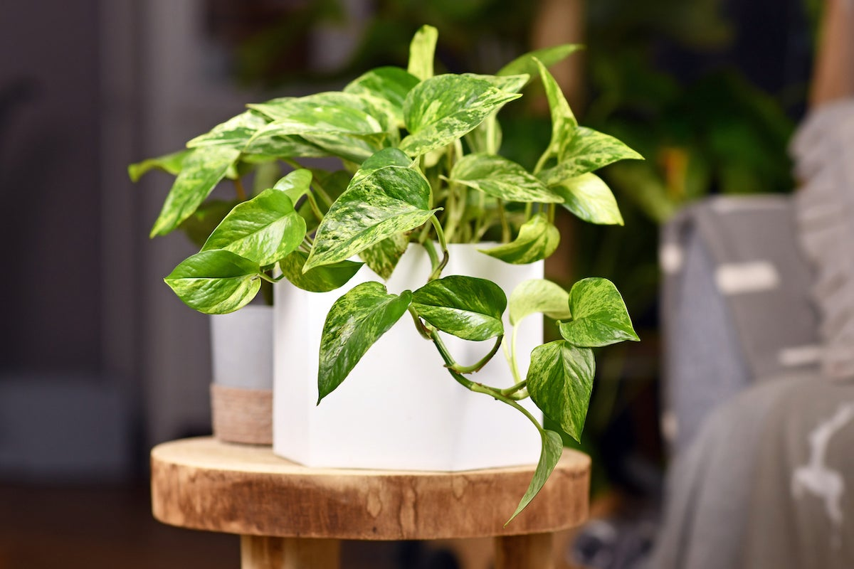 Pothos Plant Care 101: Meet the Vine That Thrives Just About Anywhere - Bob  Vila