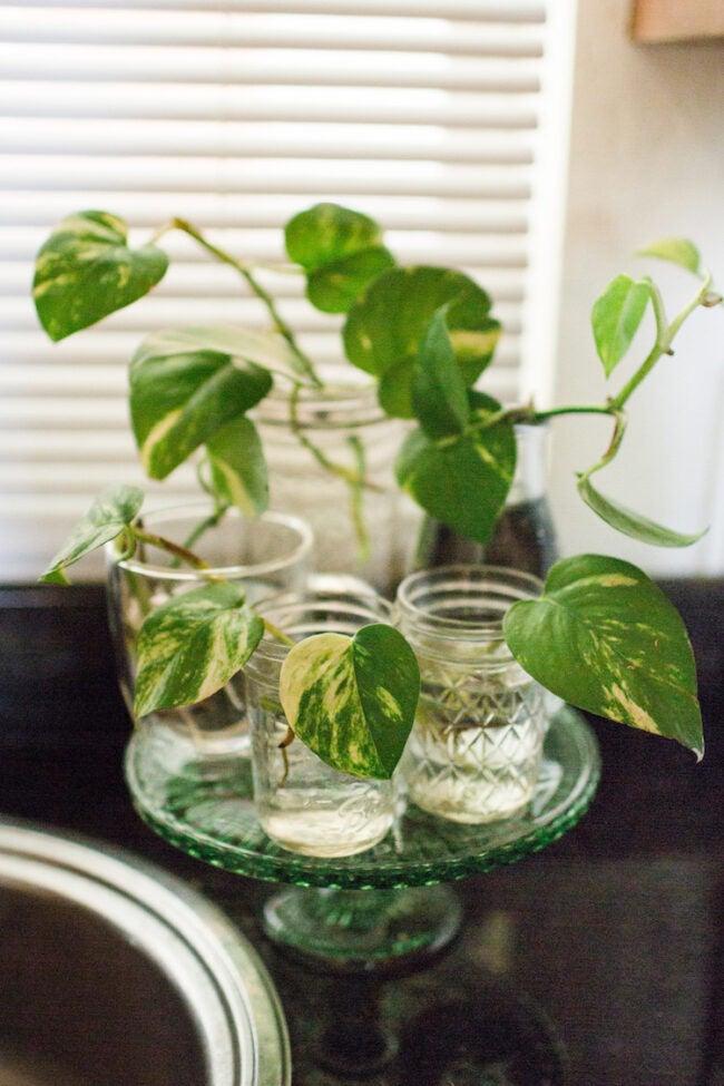 pothos plant care propagating