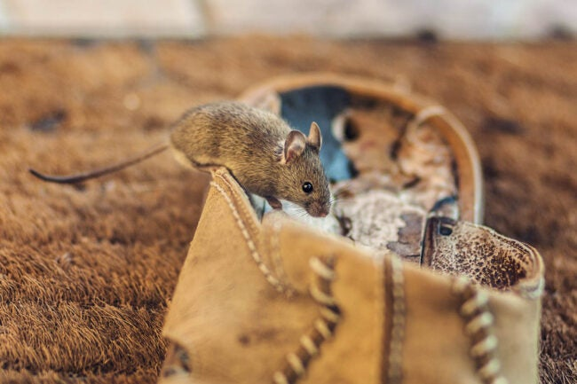 If You See One Mouse, How Many Do You Have Mouse Droppings