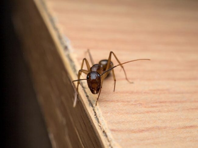 Signs of Carpenter Ants In The House Damaged Wood