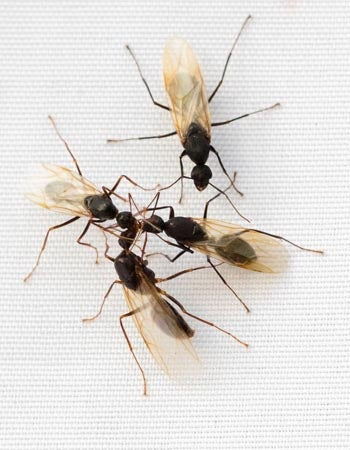 Signs of Carpenter Ants In The House Larger Than Common Ants