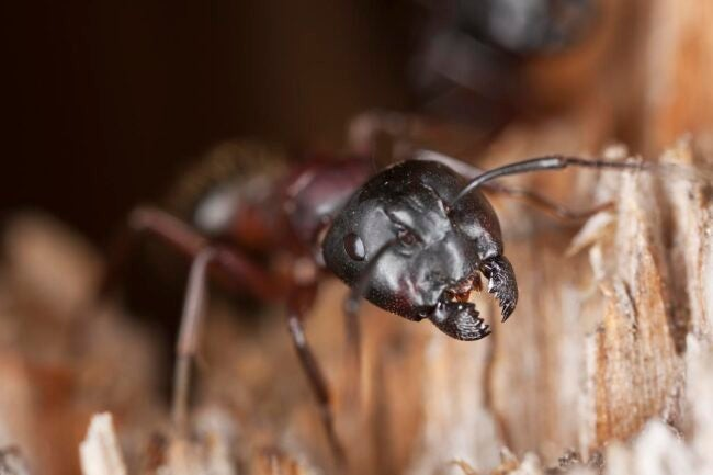Signs of Carpenter Ants In The House Rustling Noises