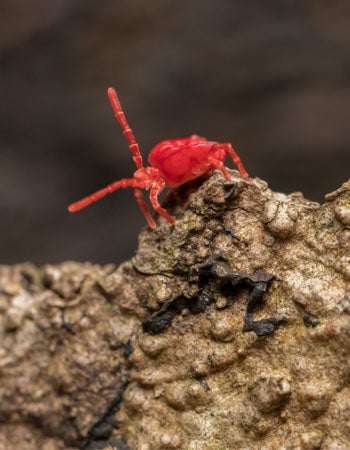 Tiny Red Bugs