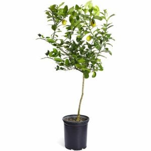The Best Gifts for Plant Lovers Option: Brighter Blooms – Meyer Lemon Tree