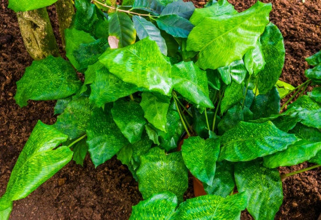 prayer plant care