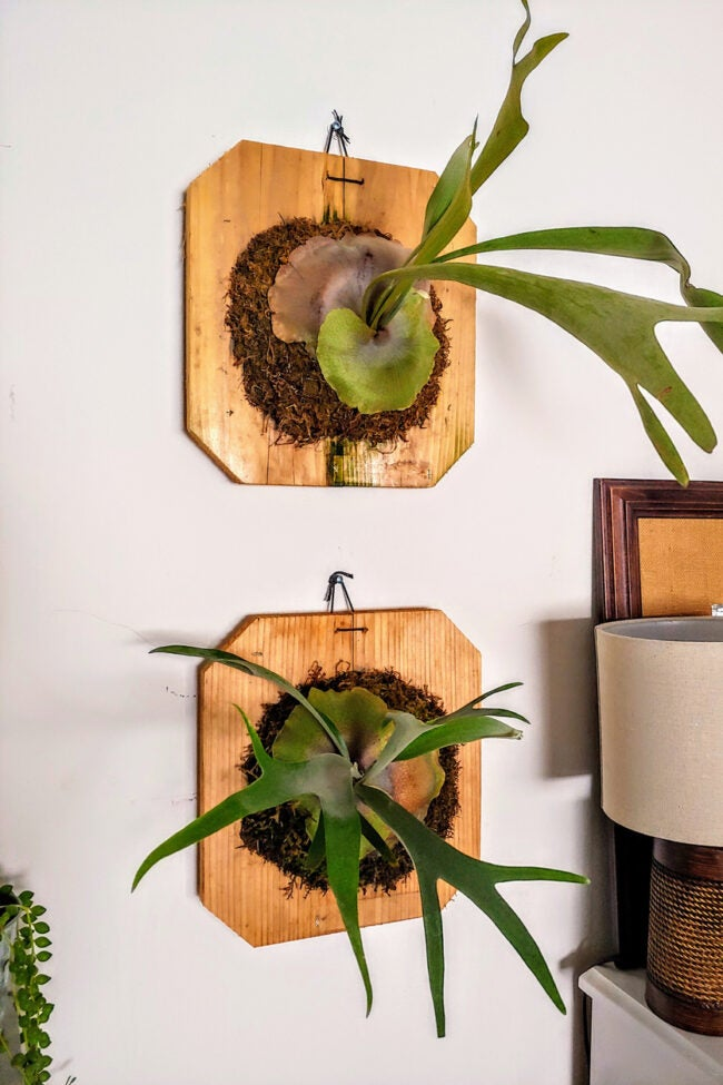 staghorn fern care