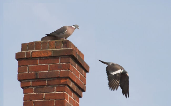 how to get birds out of chimney