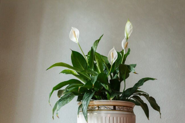 peace lily care