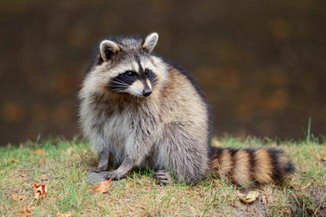 What Does Raccoon Poop Look Like