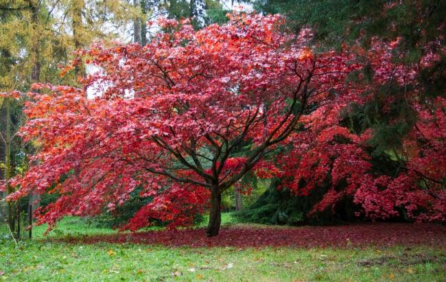Types of maple trees