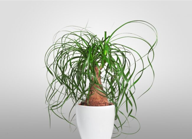 types of succulents - ponytail palm