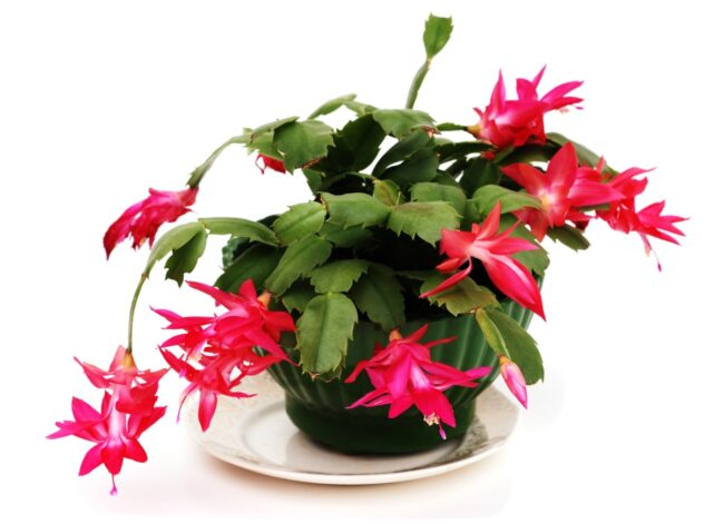 types of succulents - christmas cactus