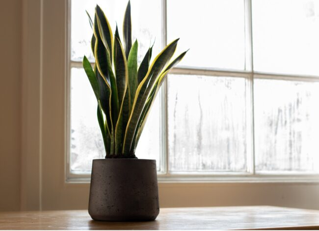 types of succulents - snake plant