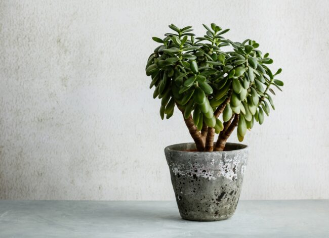 types of succulents - jade plant