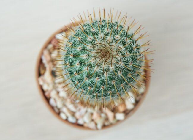 types of succulents - pincushion cactus