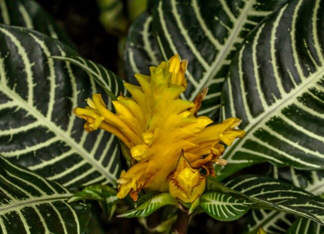 types of succulents - zebra plant