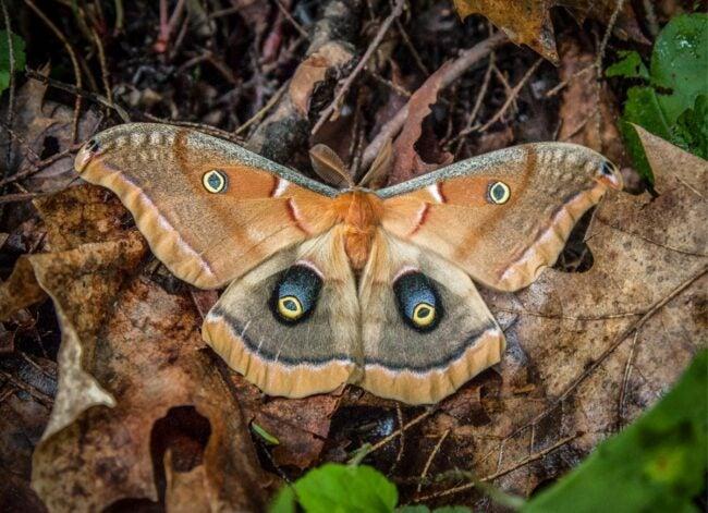 types of moths