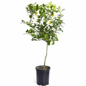 The Best Food Gifts Option: Brighter Blooms - Meyer Lemon Tree