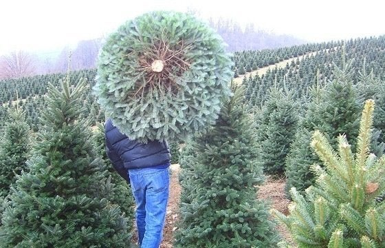 Artificial Christmas Trees, Live Christmas Trees