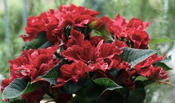 The Christmas Flower
