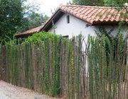 Ocotillo fence in bloom