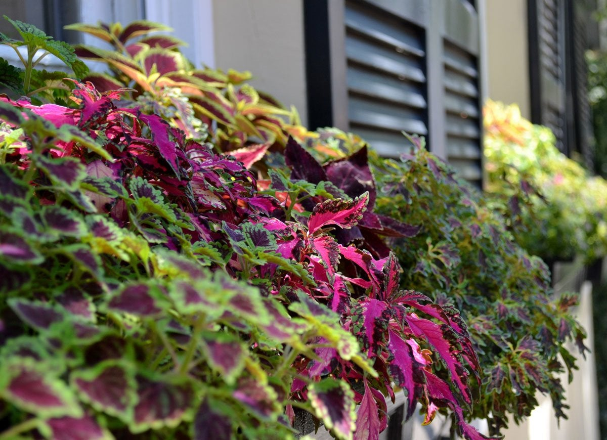 12 Plants That Are Perfect For Window Boxes Bob Vila