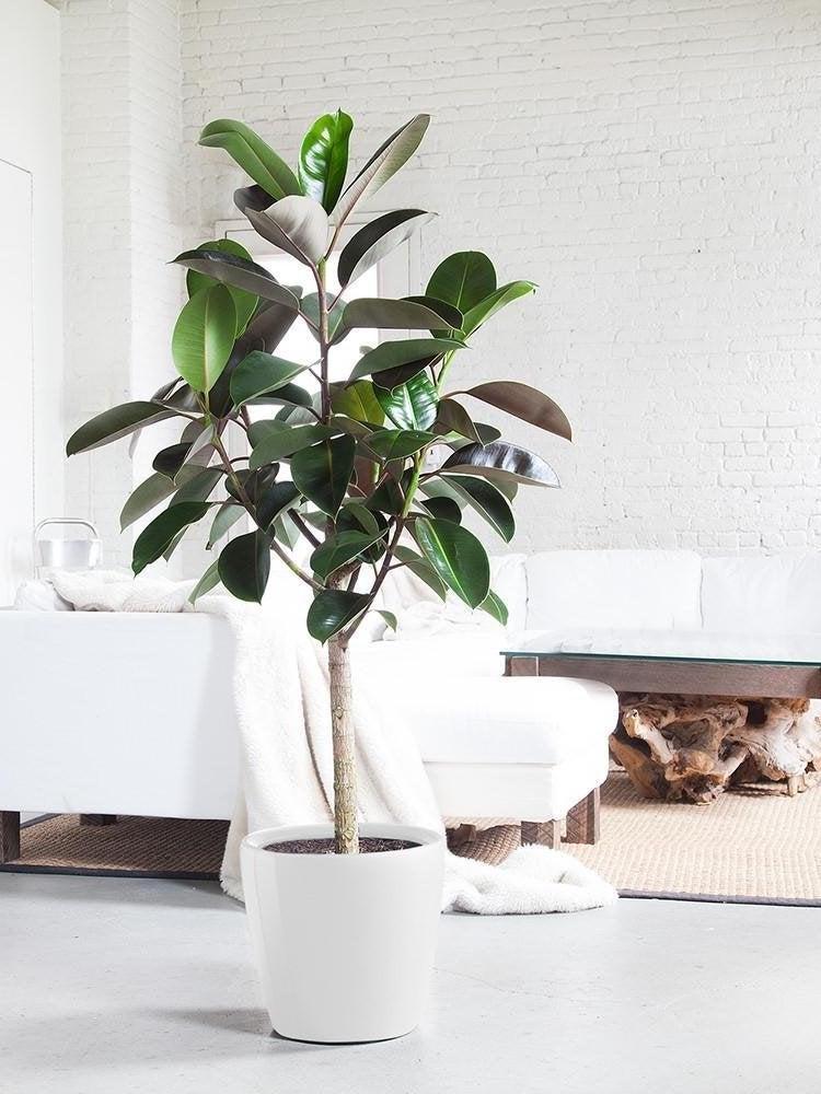 10 Large Houseplants That Make A Statement Bob Vila