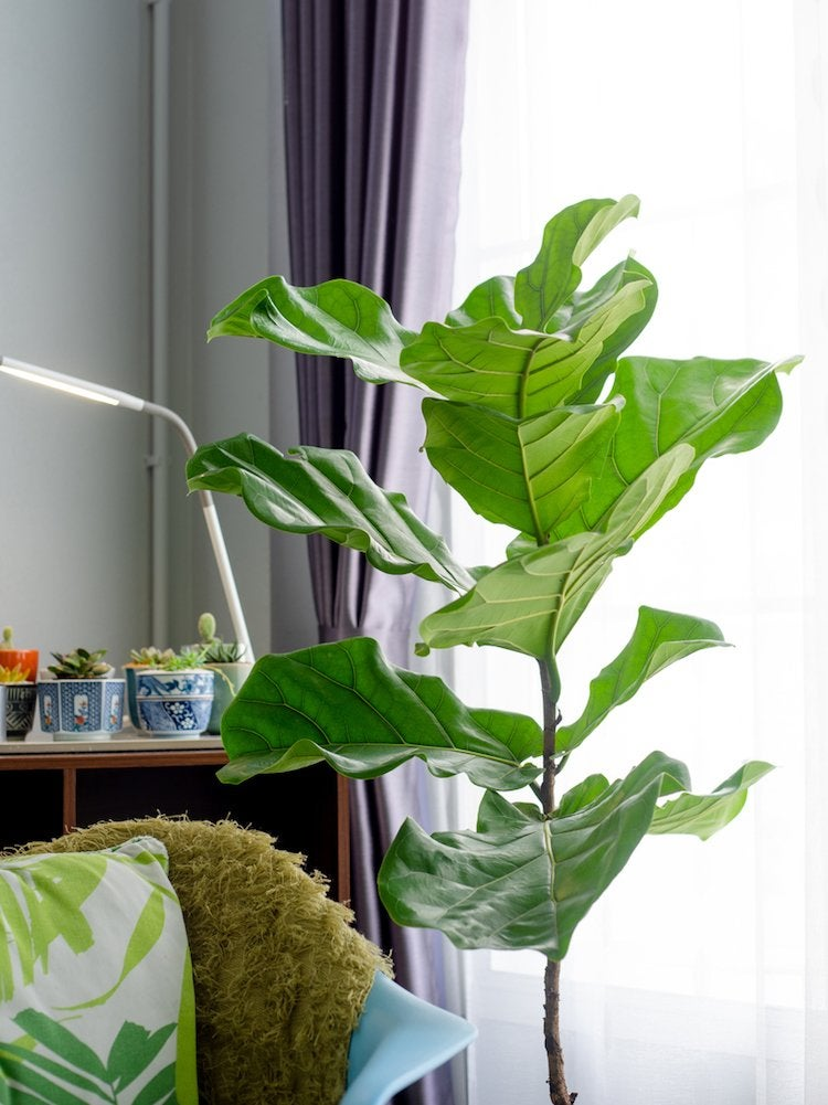 10 Large Houseplants That Make A Statement Bob Vila