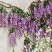 Wisteria Invasive Plants