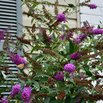 Butterfly Bush Invasive Plants