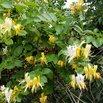 Japanese Honeysuckle Invasive Plants