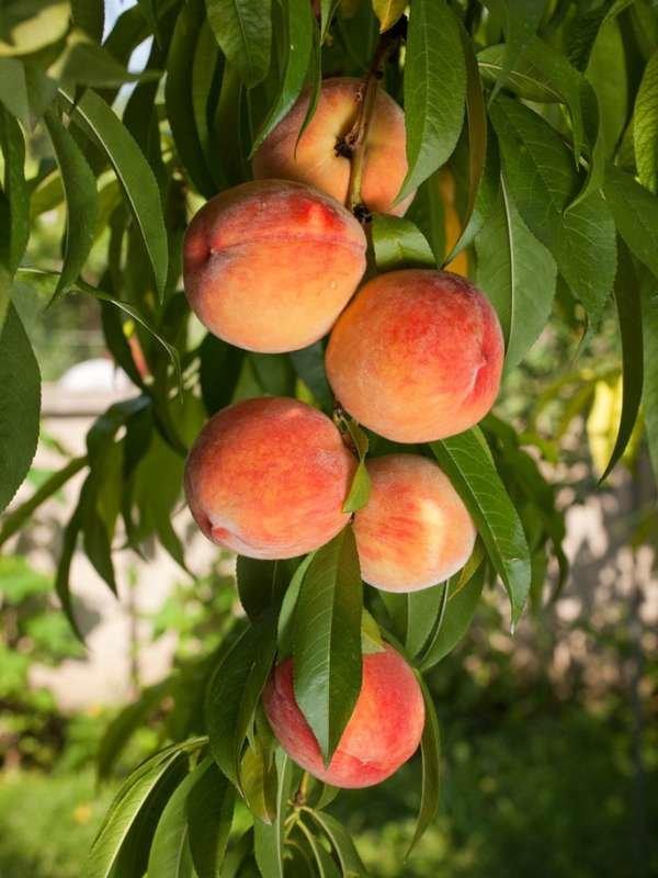 Borax Uses: Feeding Fruit Trees