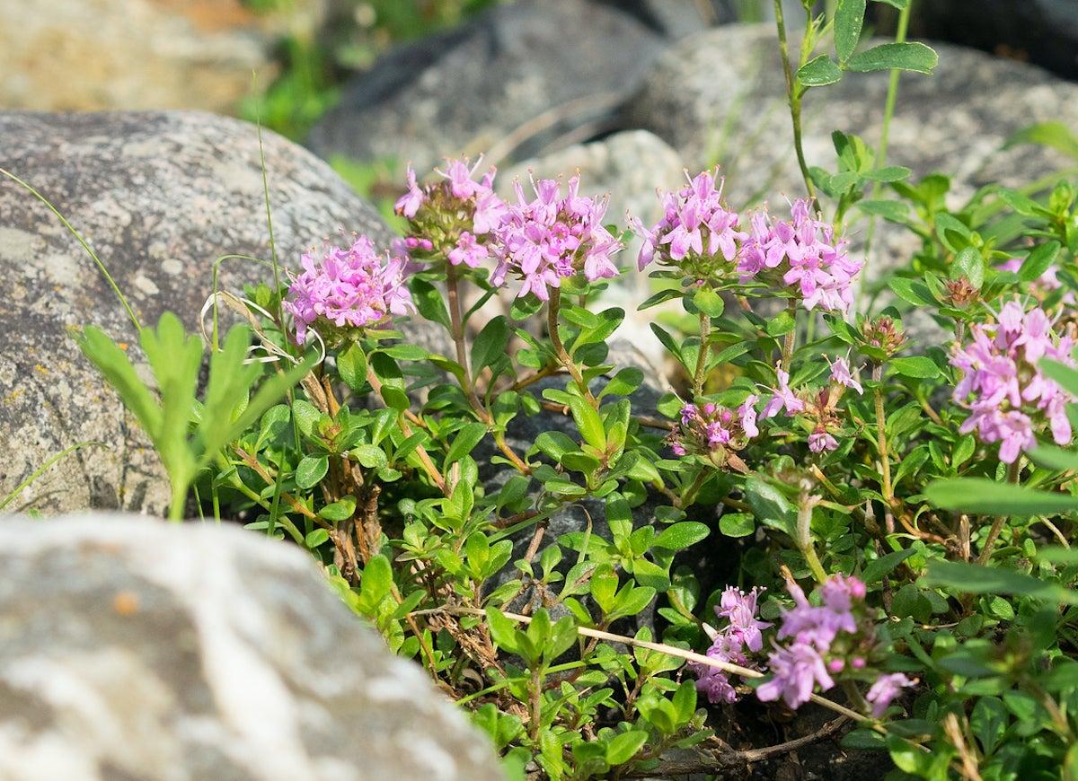 Best Plants for Rock Gardens - Bob Vila