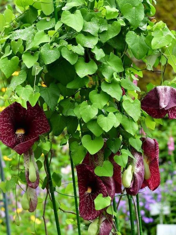 Plantas de sombra de tubería de Dutchman