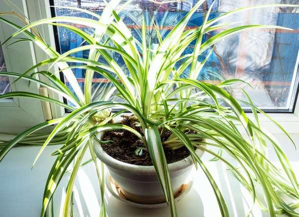 planta de araña de propagación rápida