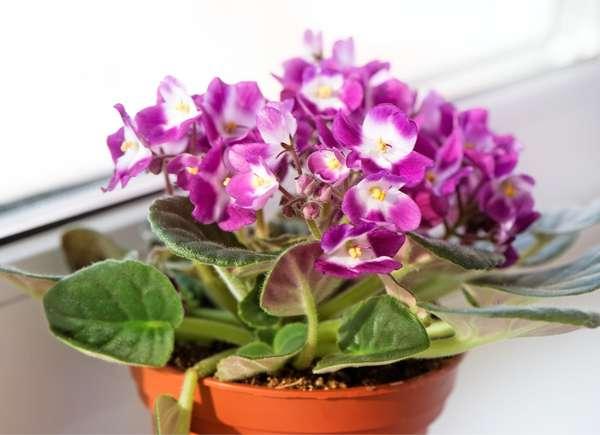 Propagación rápida violeta africana