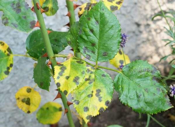 fungicida neem