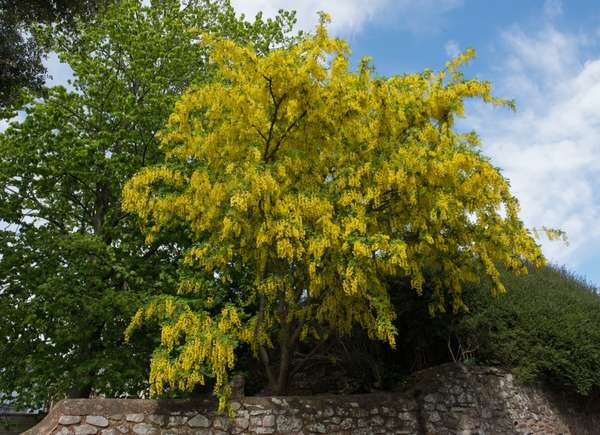 Árbol de cadenas doradas