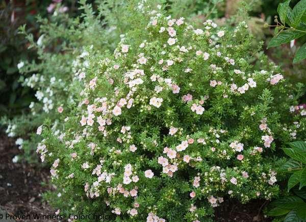 Cinquefoil (Potentilla fruticosa)