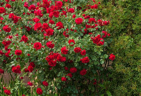 Rosa (Rosa spp)