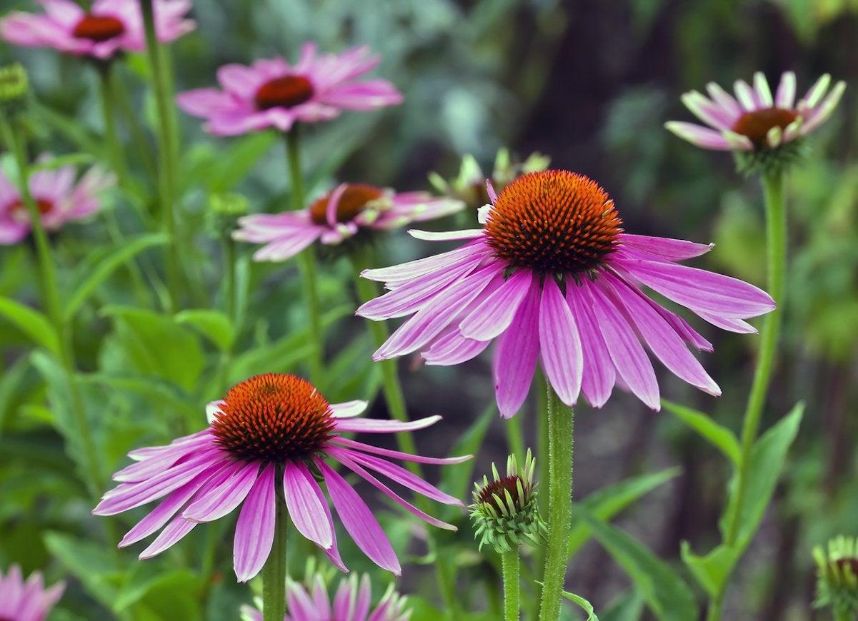 Full-Sun Perennials - 10 Light-Loving Plants to Complete ...
